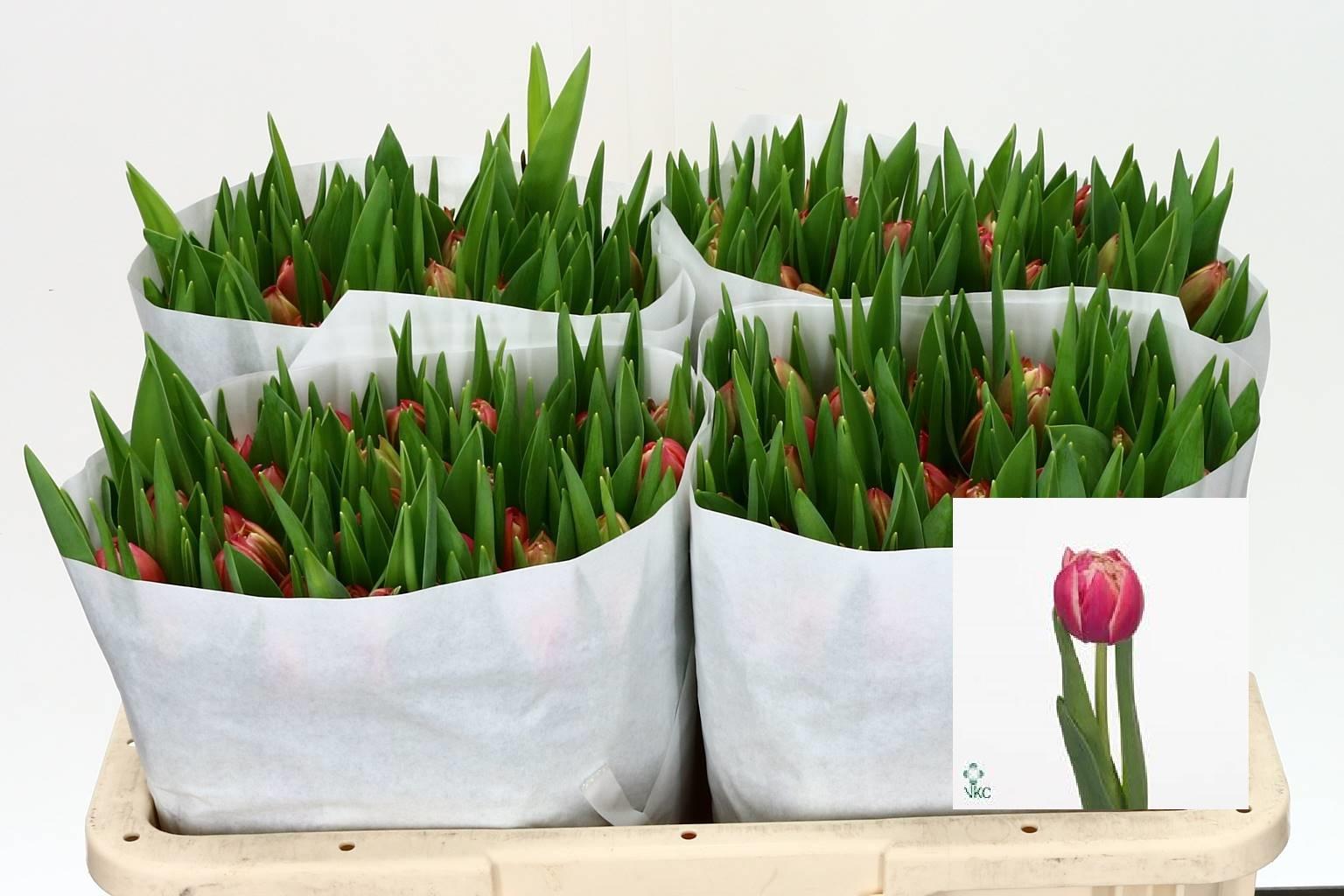 Tulipa Du Columbus (Тюльпан Ду Колумбус) В40
