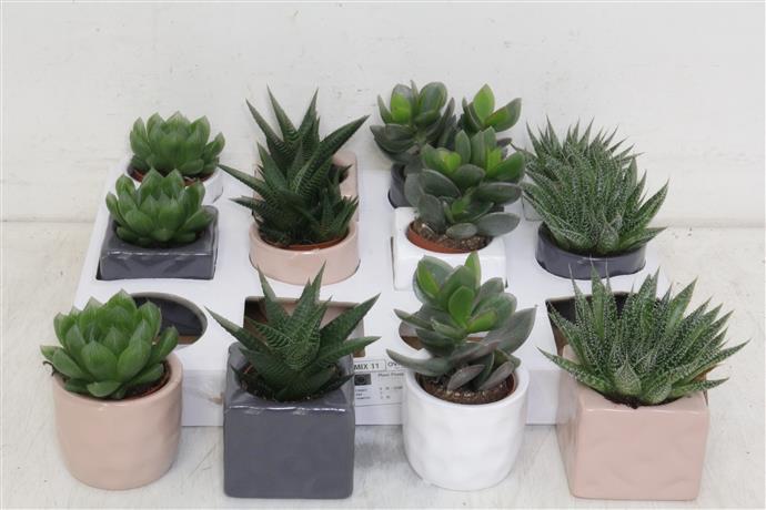 Succulent Gem 5 Srt (Cуккулент Гем 5 стр) В12