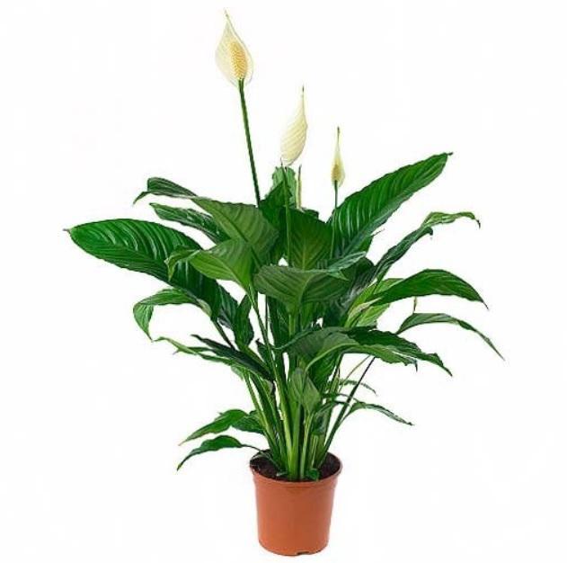 Spathiphyllum Sweet Lauretta (Спатифиллум Свит Лауретта) 21 горш.