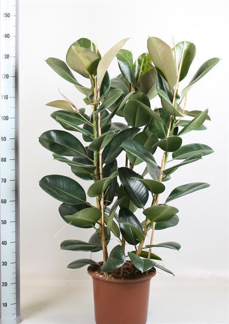 Ficus Elastica (Фикус Эластика) В12