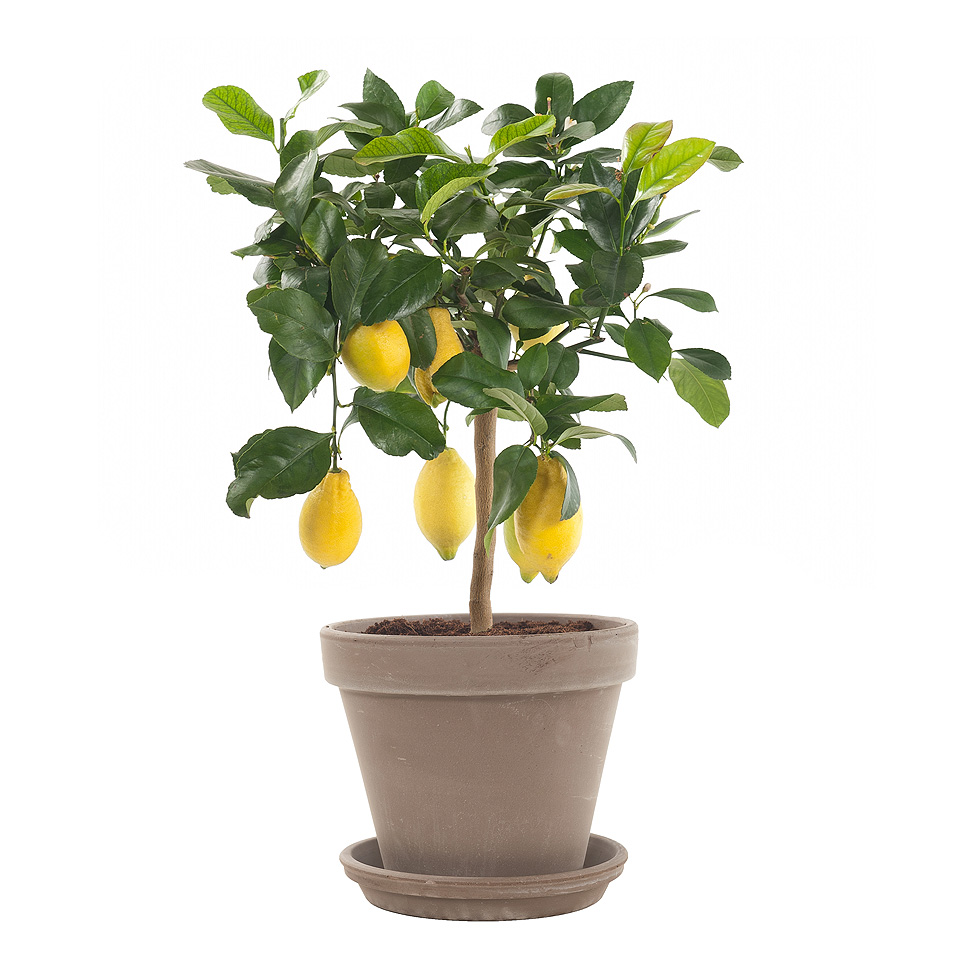 Citrus Limon Op Stam (Цитрус Лимон Ор Стем) 22 горш.
