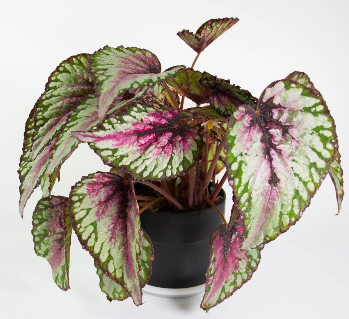 Begonia Rex Ov (Бегония Рекс Ов) 12 горш.