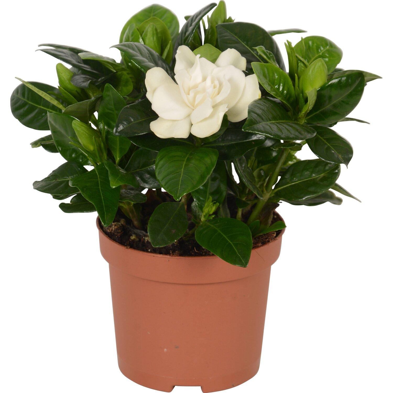 Gardenia (Гардения) В13