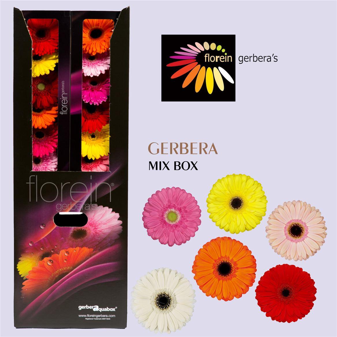 Gerbera Aqua Mixed X96 (Гербера Аква Миксед Х96) В45