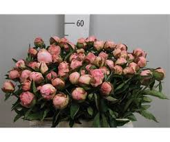 Paeonia L Gardenia (Пион Гардения) В55