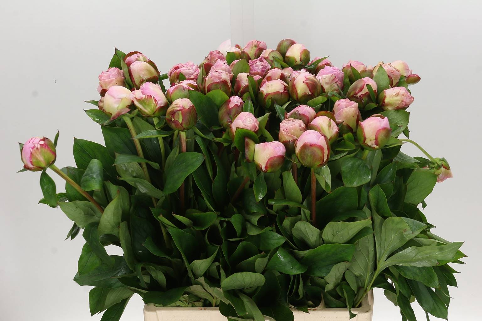 Paeonia gardenia (Пион Гардения) В50