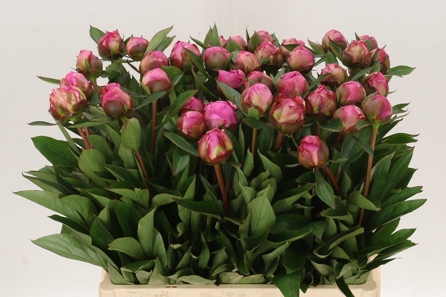 Paeonia dr alexander fleming( Пион др Александр Флеминг) В60