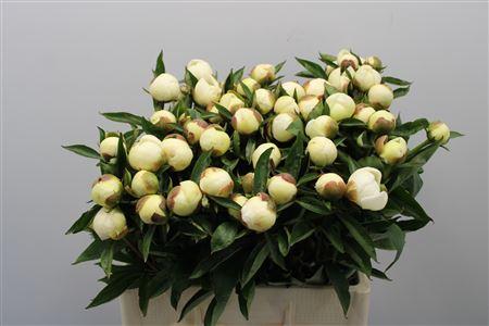 Paeonia Duchesse D Nemo (Пион Дюшес Д Немо) В50