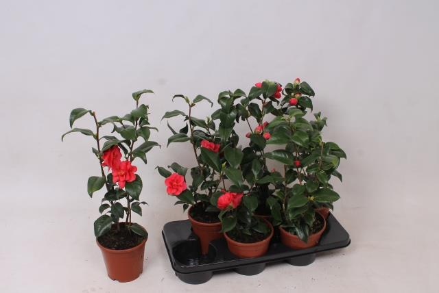 Camellia Japonica Gemengd (Камелия Японика Геменд)