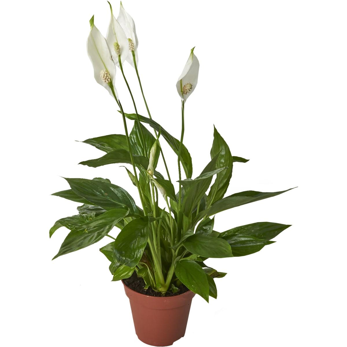 Spathiphyllum Torelli (Сенполия Торелли) В12