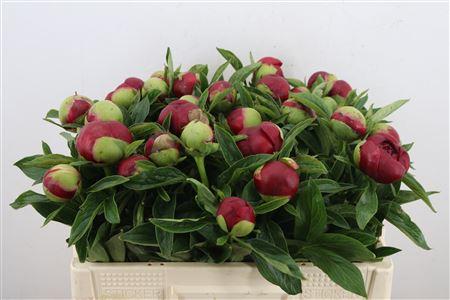 Paeonia red charm (Пион Ред шарм) В50