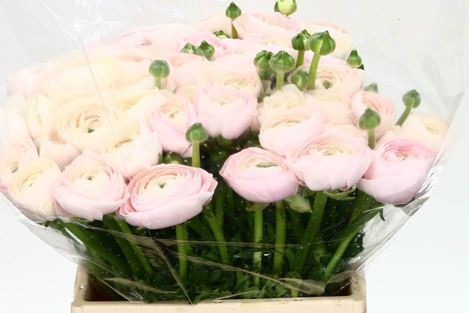 Ranunculus Clooni Extra Hanoi (Ранункулюс Клуни Экстра Ханой)