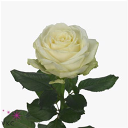 Rosa Gr Avalanche  (Роза гр Аваланж ) В80