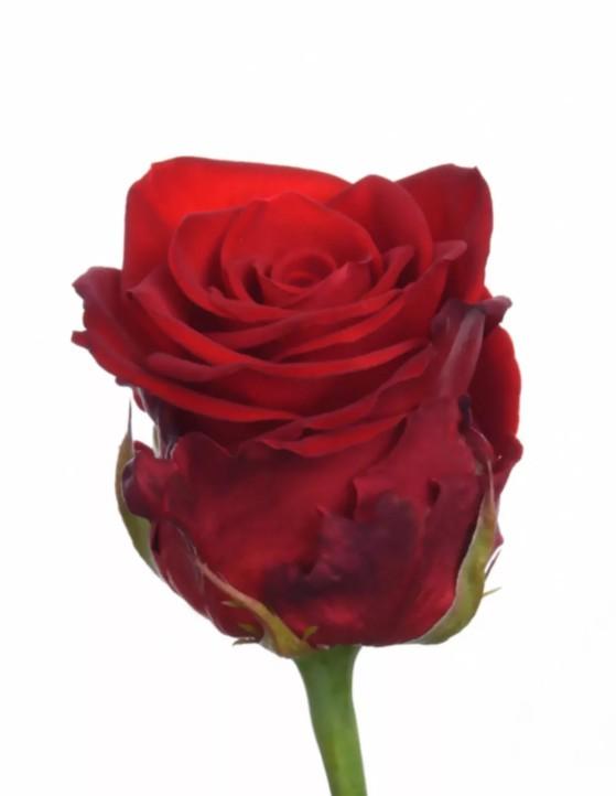 Rosa Gr Merry Me (Роза Гр Мерри Ми) В80