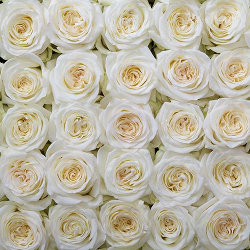 Rosa Gr Candlelight ( Кандлелигхт ) В60 Rosa Prima