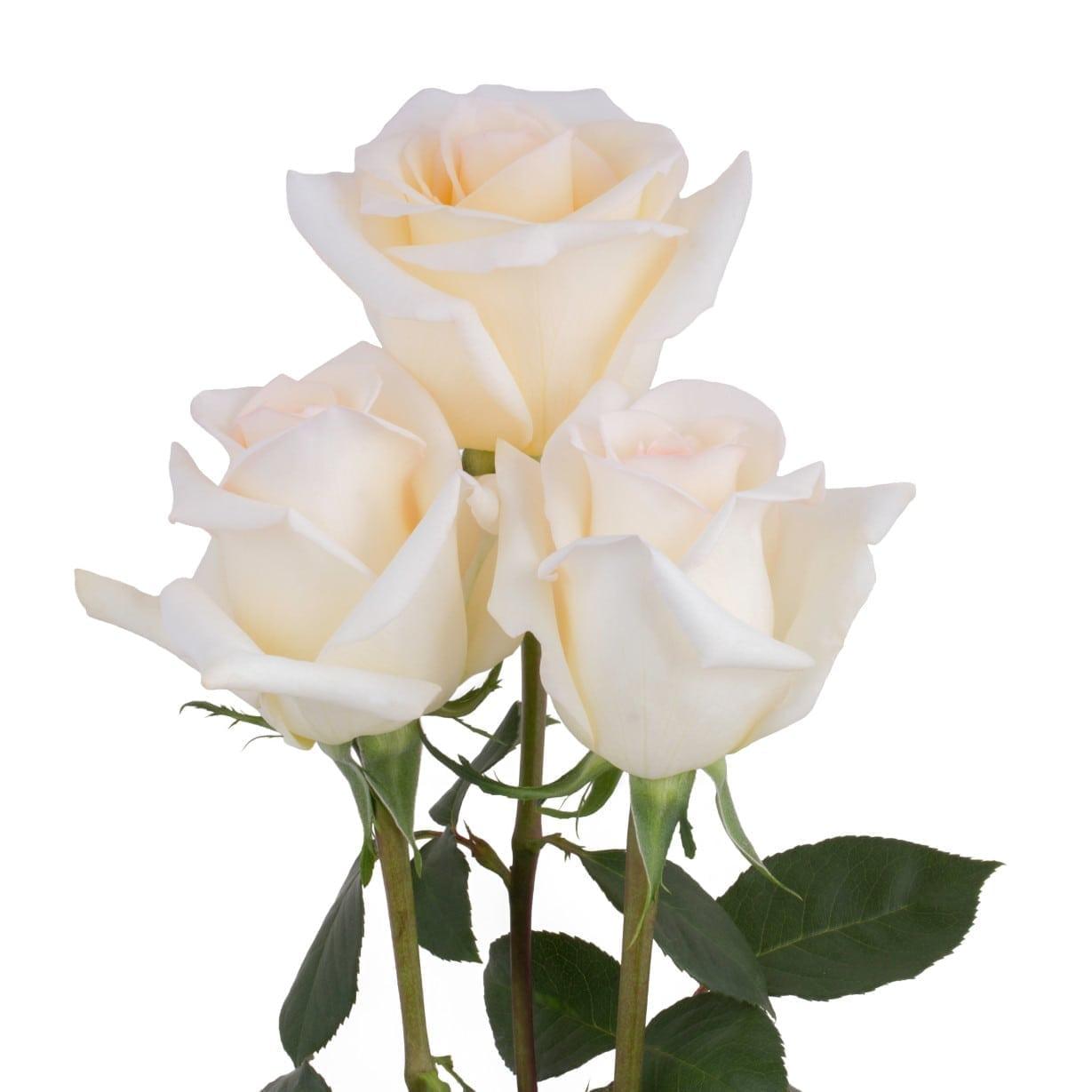 Rosa Gr Crystal ( Кристал ) В60 Rosa Prima