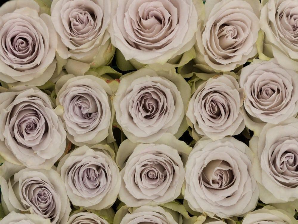 Rosa Gr Early Grey ( Ерл Грей ) В60 Rosa Prima