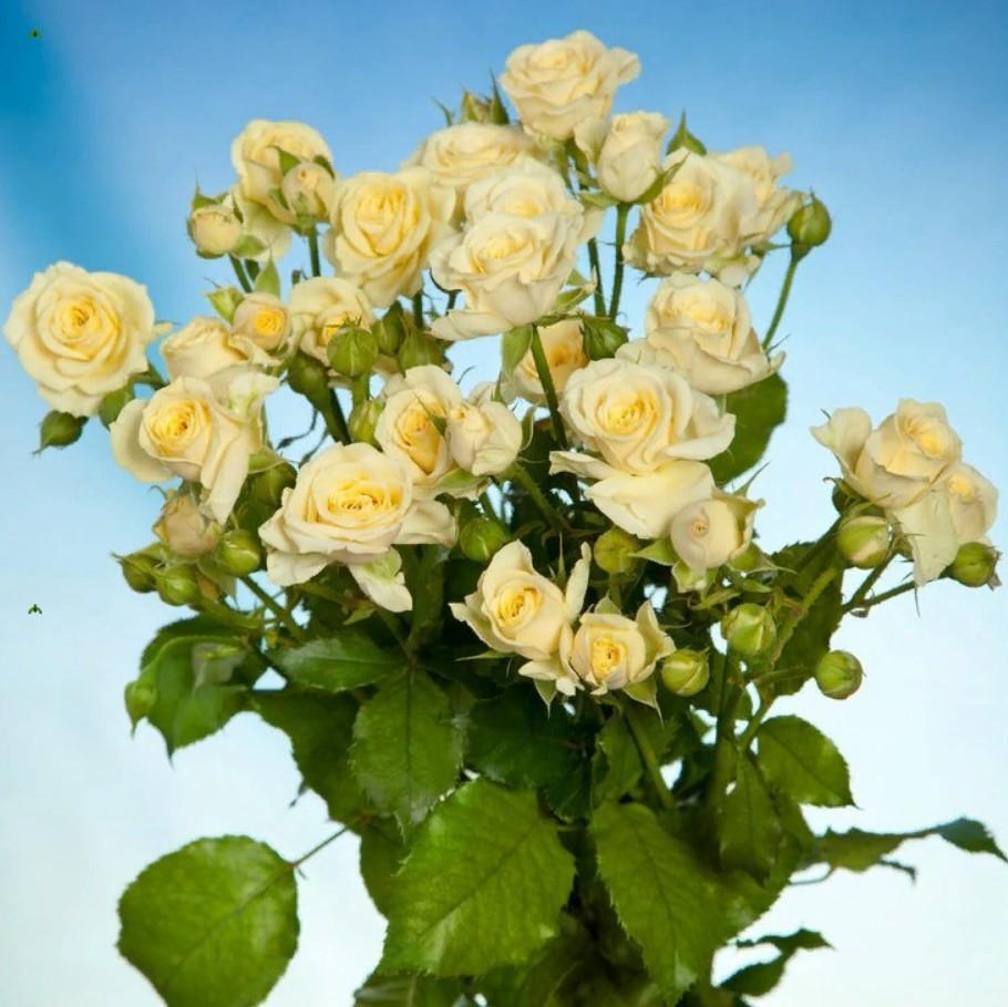 Rosa Spray Vanilla Buket (Роза Спрей Ванила Букет) B50