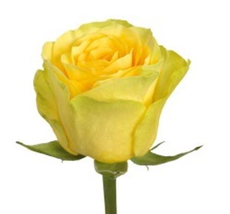 Rosa Gr Ilios (Роза Гр Илиос) В80