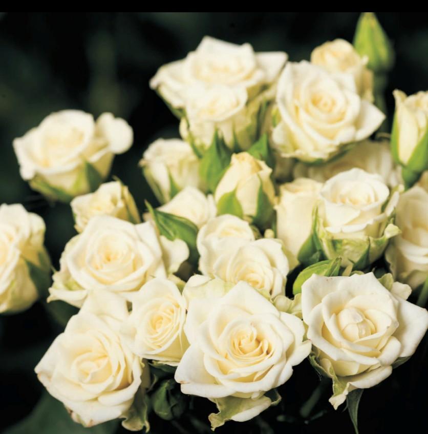 Rosa Spray (Роза Спрей) В50 (MKSH)