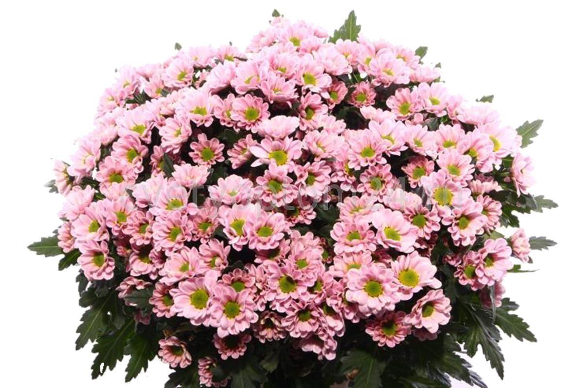 Chrys San Rossi Pink (Хриз Сантини Росси Пинк) В55