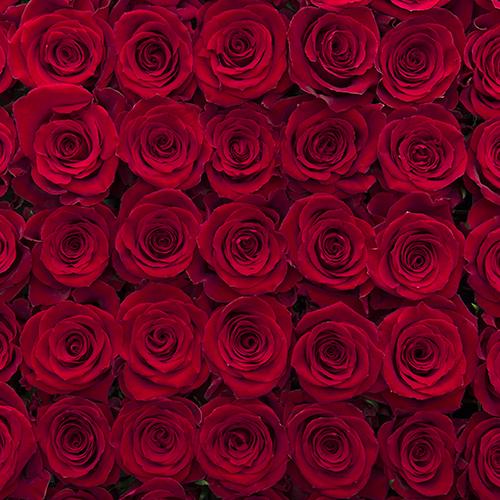 Rosa Gr Fortune ( Фортуна ) В60 Rosa Prima