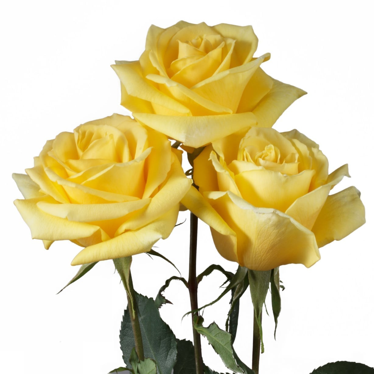 Rosa Gr Gran Dorado ( Гран Дорадо ) В60 Rosa Prima