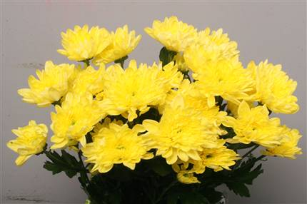 Chrys. tr. Baltica Yellow (Хриз. куст. Балтика Еллоу) В70