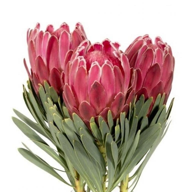 Протея цветок купить новосибирск