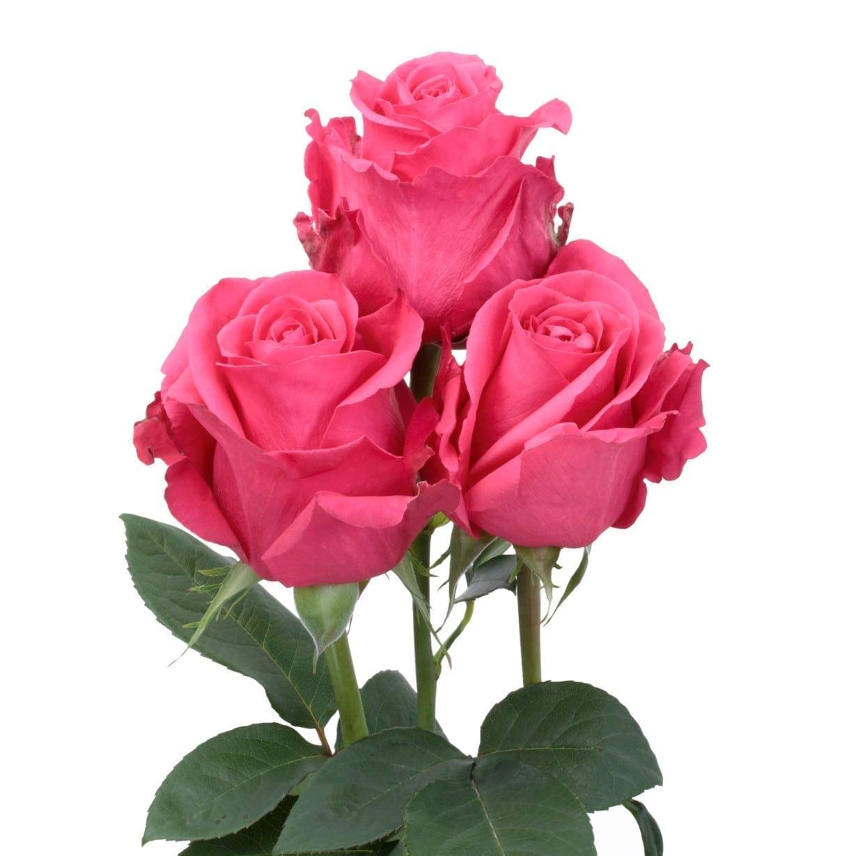 Rosa Gr Hotshot ( Хот шот ) В60 Rosa Prima