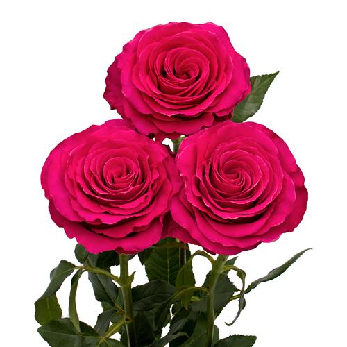 Rosa Gr Hotspot ( Хот спот ) В60 Rosa Prima