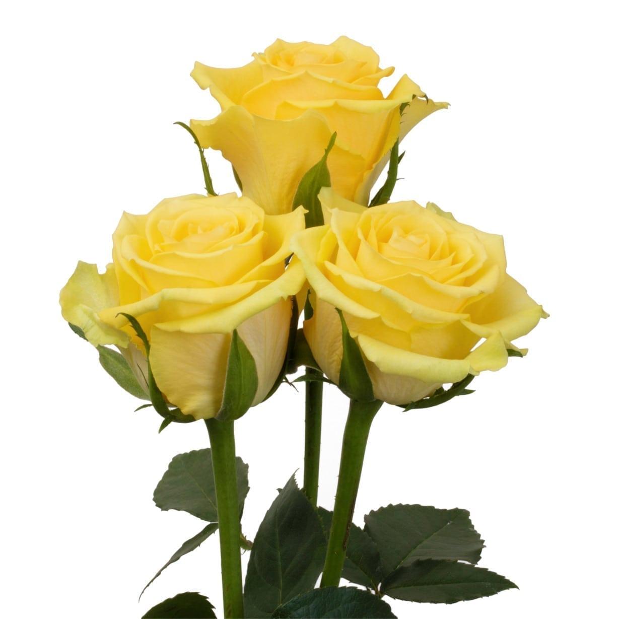 Rosa Gr Idole ( Идоле ) В60 Rosa Prima
