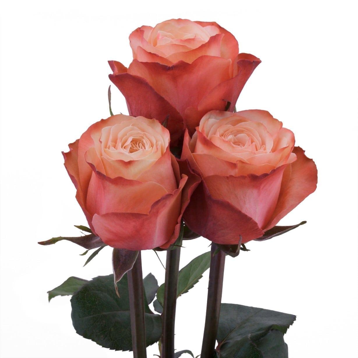 Rosa Gr Kahala ( Кахала ) В60 Rosa Prima