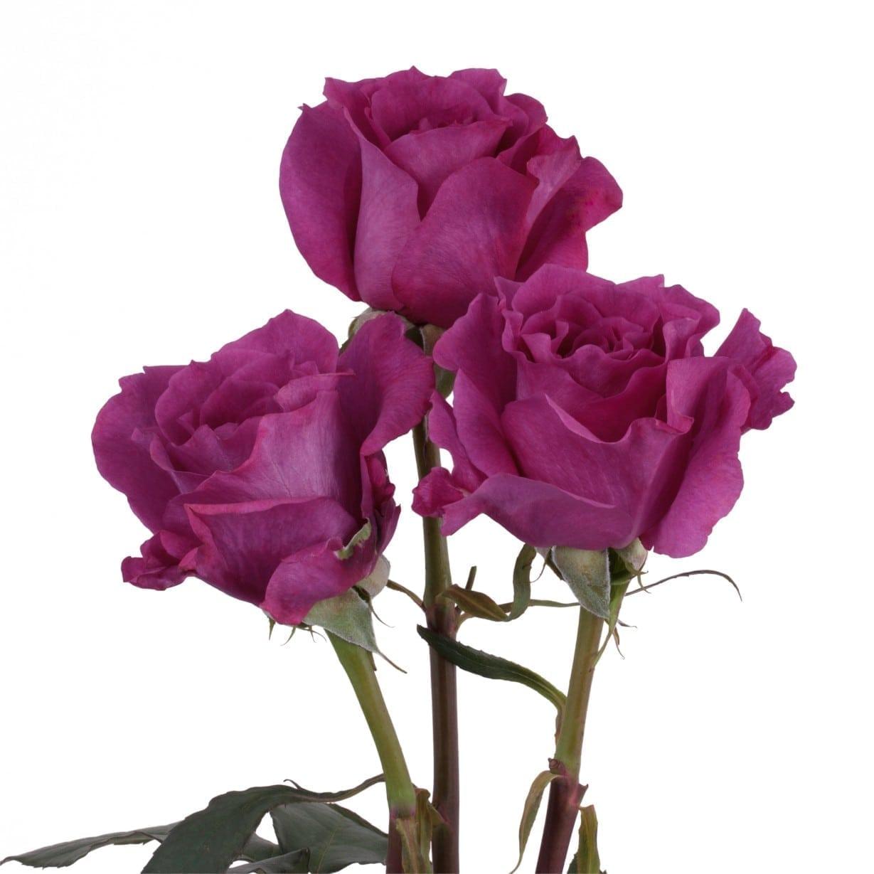 Rosa Gr Mamy Blue ( Майби Блу ) В60 Rosa Prima