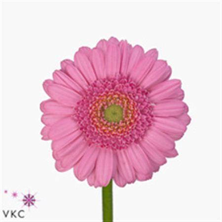 Germini Aqua Overig Pink (Гермини Аква Овериг Пинк)
