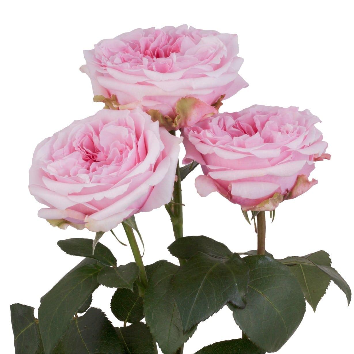 Rosa Gr Miranda ( Миранда ) В60 Rosa Prima