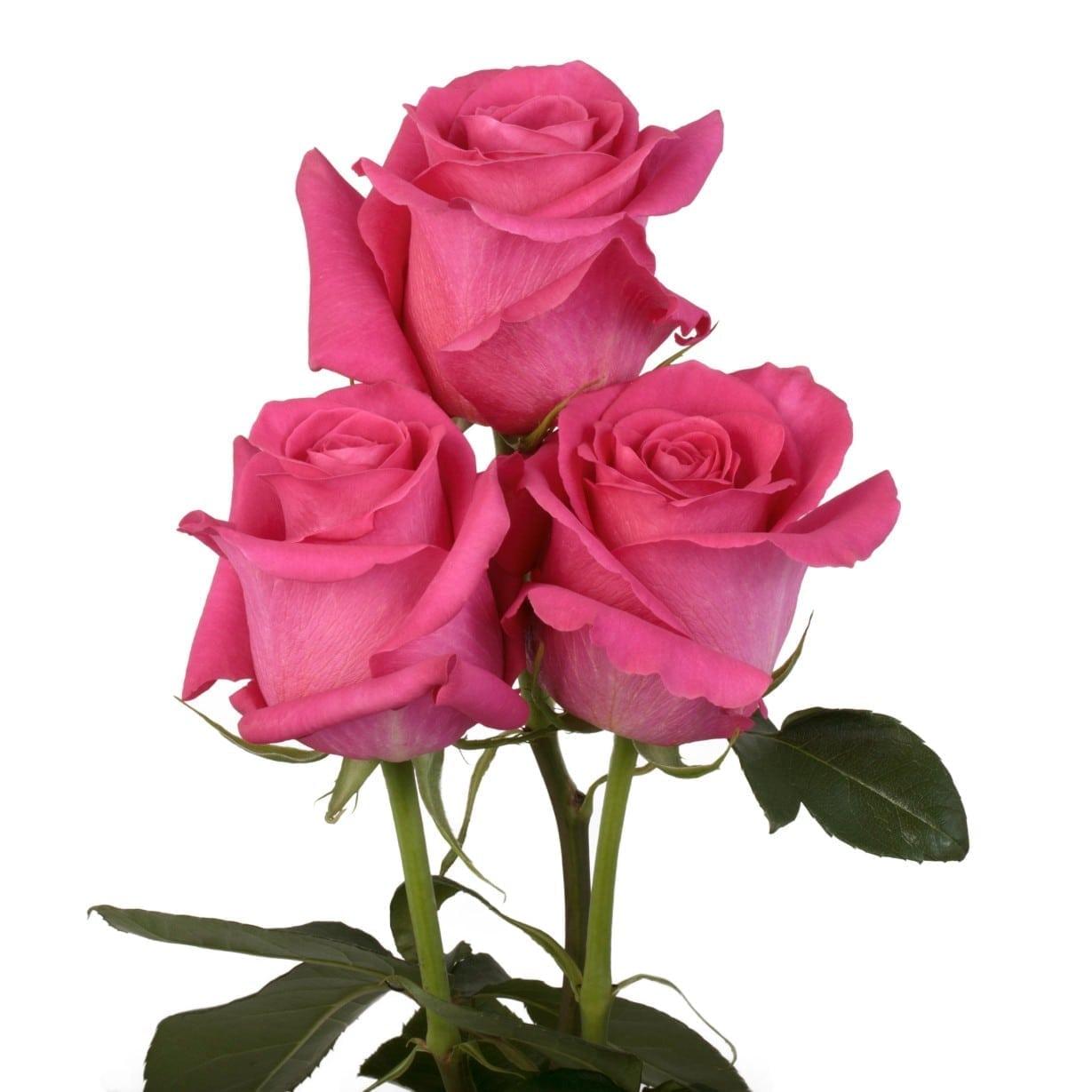 Rosa Gr Pink Floyd ( Пинк Флойд ) В60 Rosa Prima