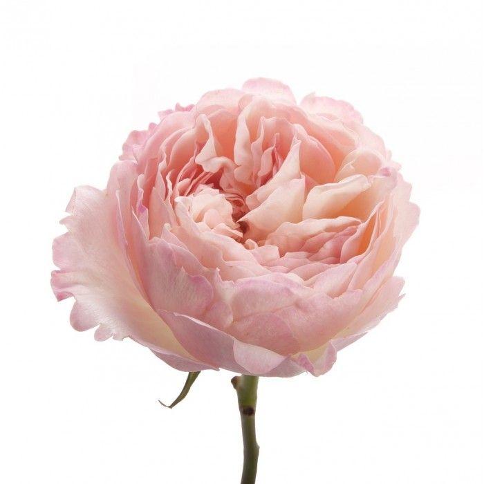 Rosa Gr David Austin Keira (Роза Гр Девид Остин Кейра) В50