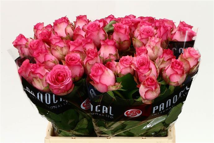 Rosa Gr Pink Shadow (Роза Гр Пинк Шадоу) В50