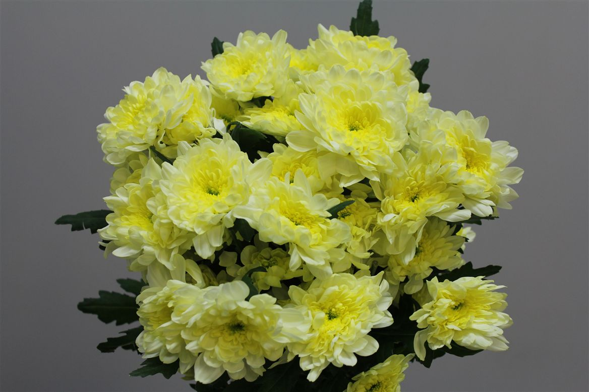 Chrys. tr. Zembla Creme (Хриз куст. Зембла Крем) В70
