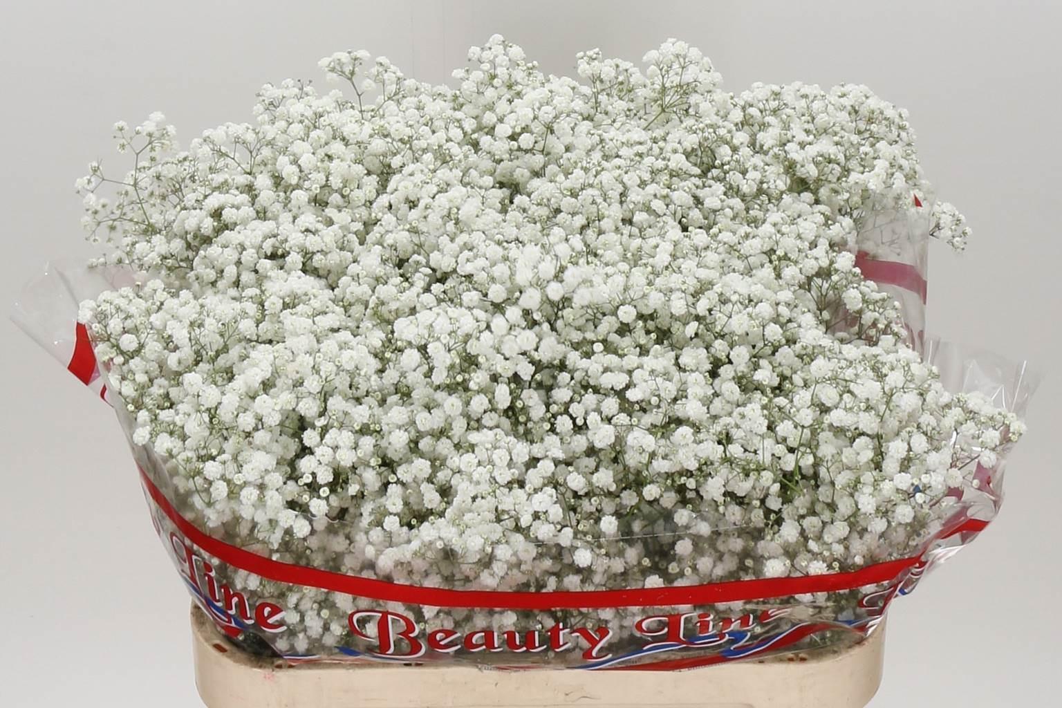 Gypsophila Xlence (Гипсофила Xlence) В70