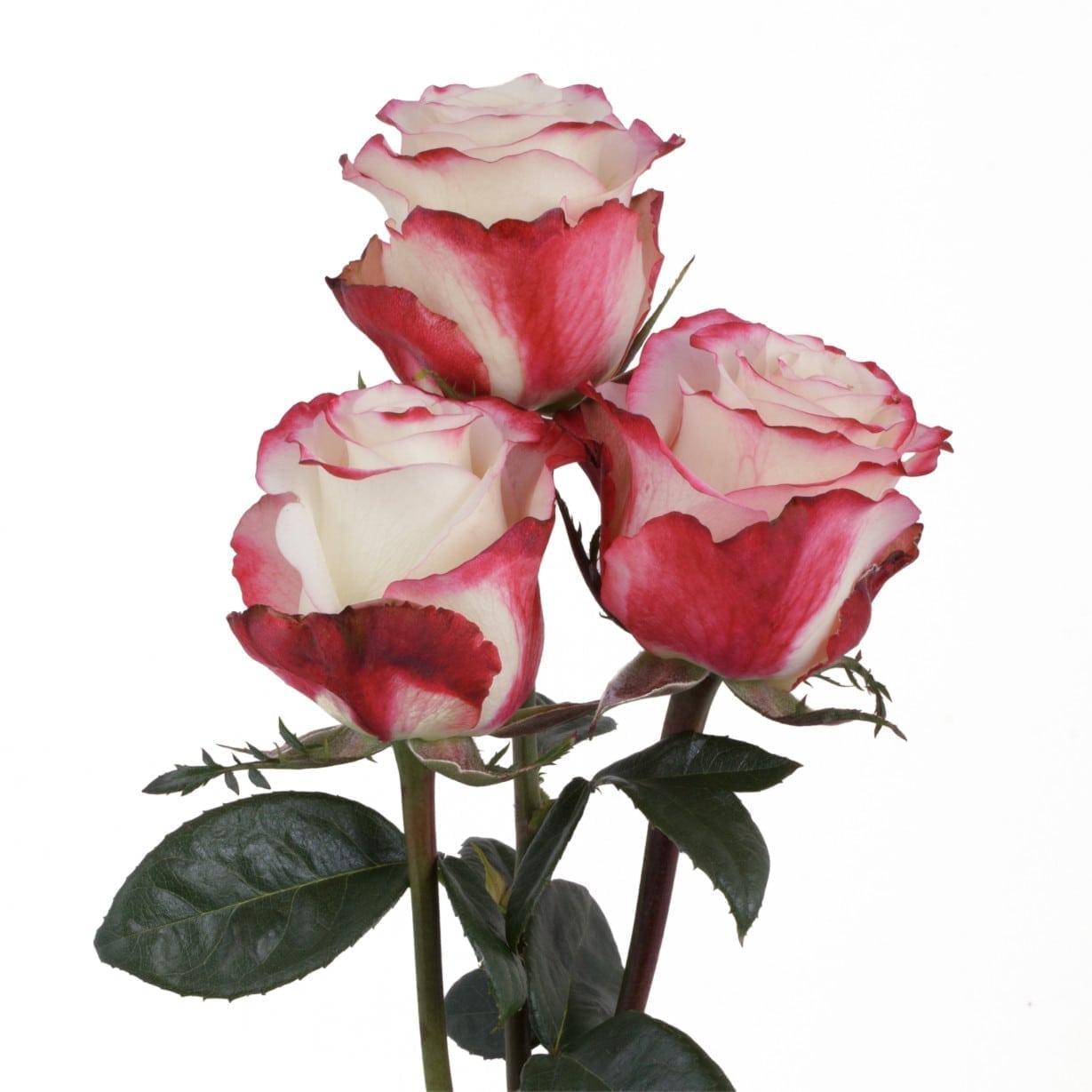Rosa Gr Sweetness ( Свеетнесс ) В60 Rosa Prima