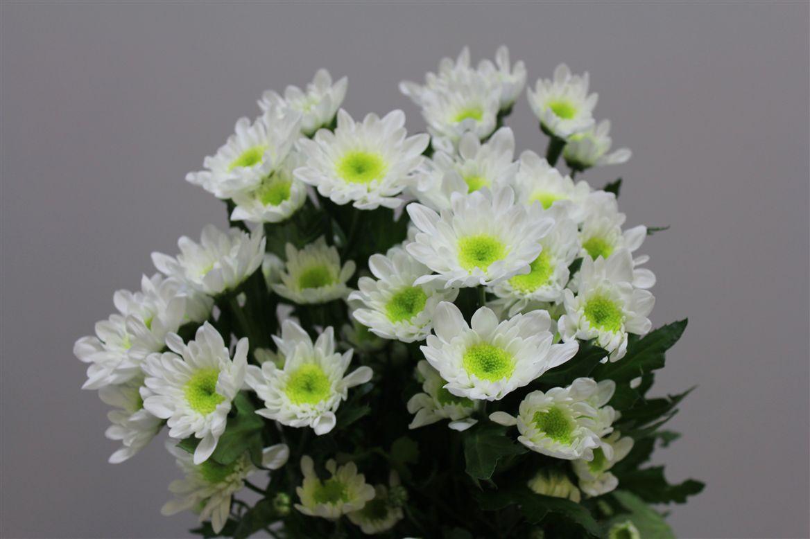 Chrys. tr Double White (Хриз Куст Дабл Вайт) В70