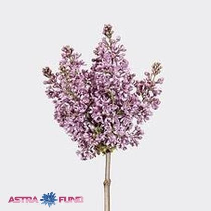 Syringa lila wonder (Сирень Лила Вондер) В60
