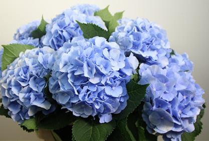 Hydrangea Blue Pale (Гортензия Блу Пале) В60