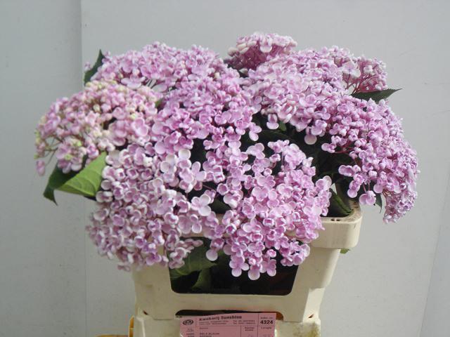 Hydrangea popcorn pink (Гортензия попкорн пинк) В50