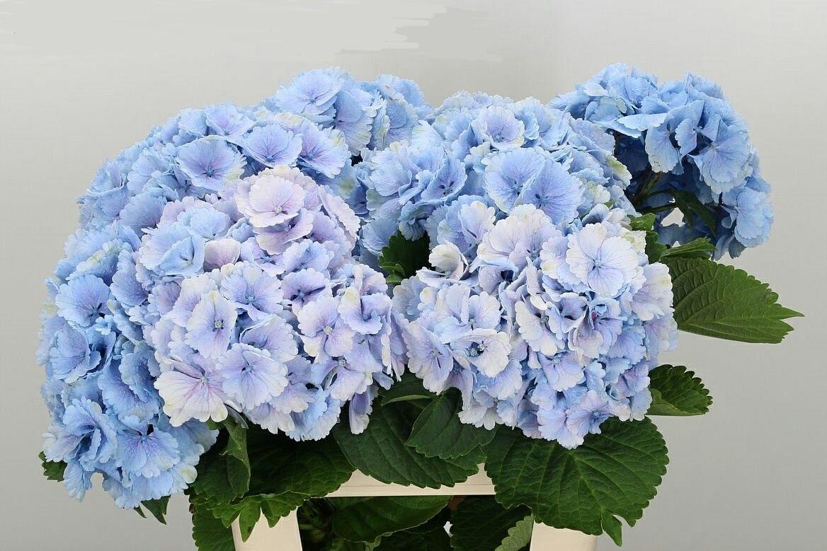 Hydrangea lollipop blue (Гортензия Лоллипоп блу) В60