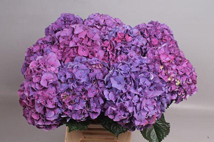 Hydrangea sibilla purple (Гортензия сибилла перпл) В60