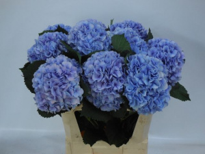 Hydrangea M Balthazar Blue (Гортензия Бальтазар Блу) В80