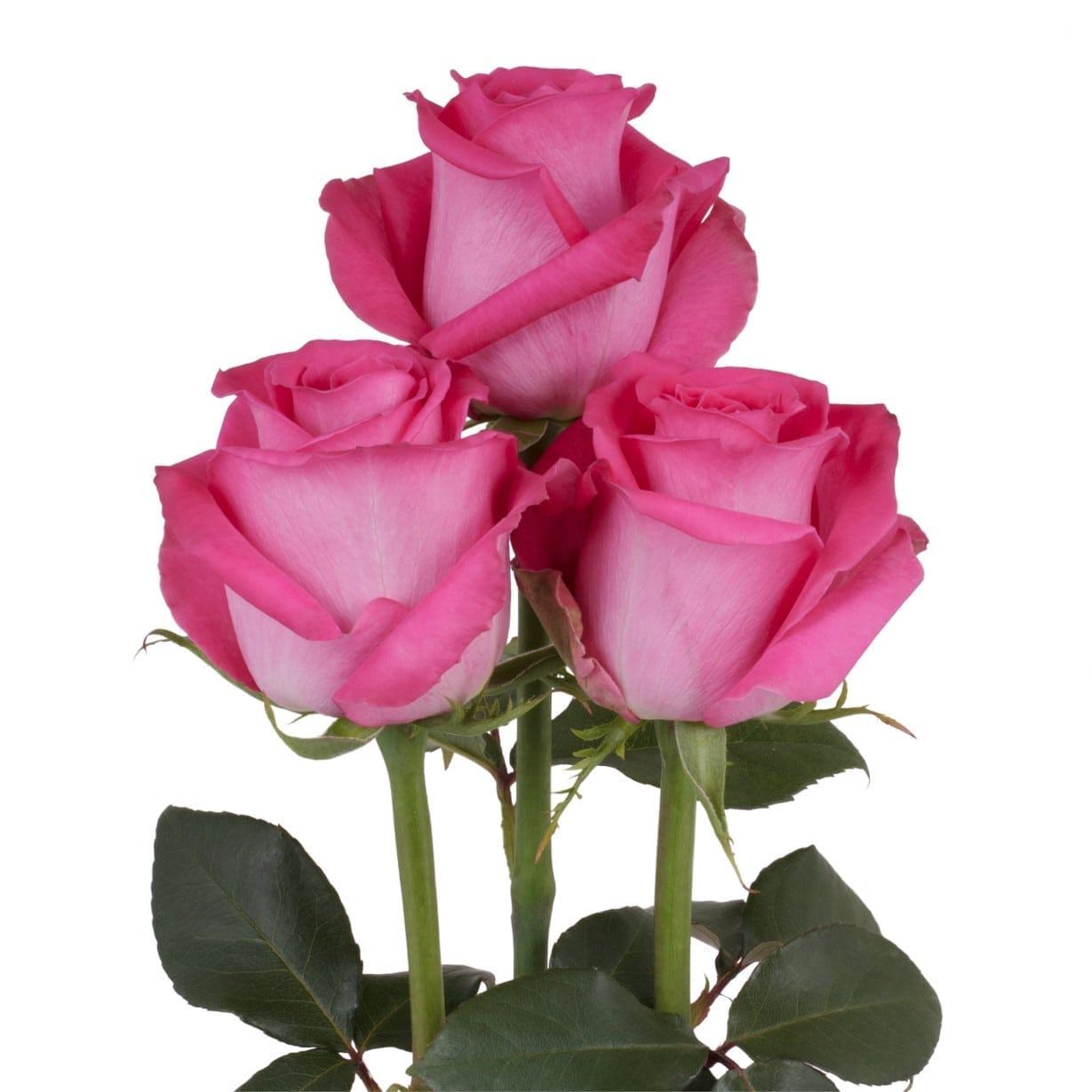 Rosa Gr Topaz ( Топаз ) В60 Rosa Prima